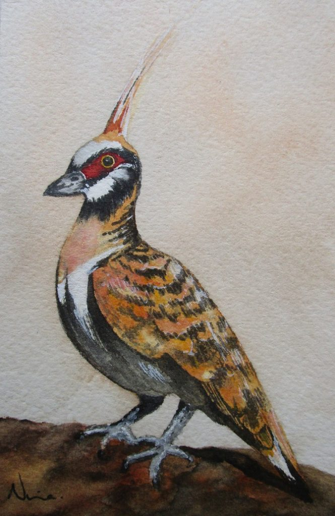 Spinifex pigeon